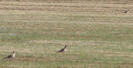 American Golden-Plover with Killdeer
